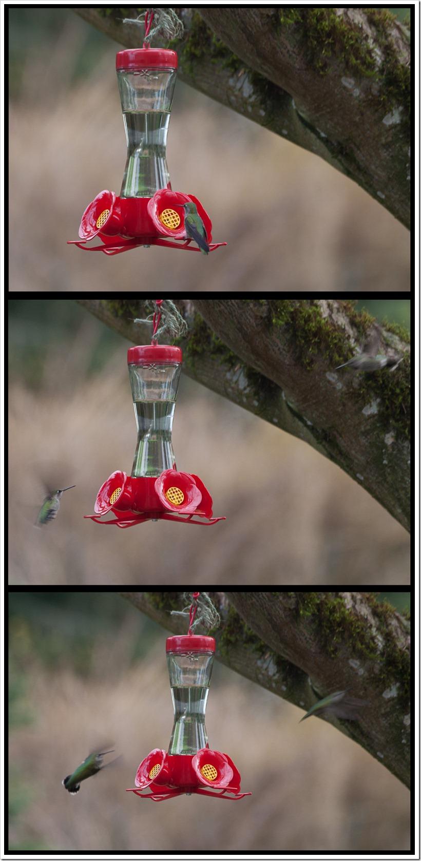 dualinghummingbirds