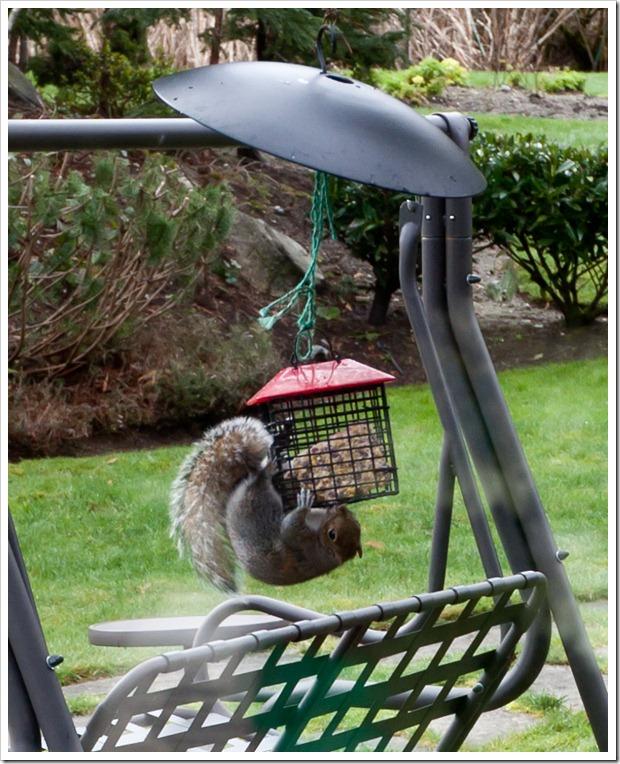 Squirrel-3195
