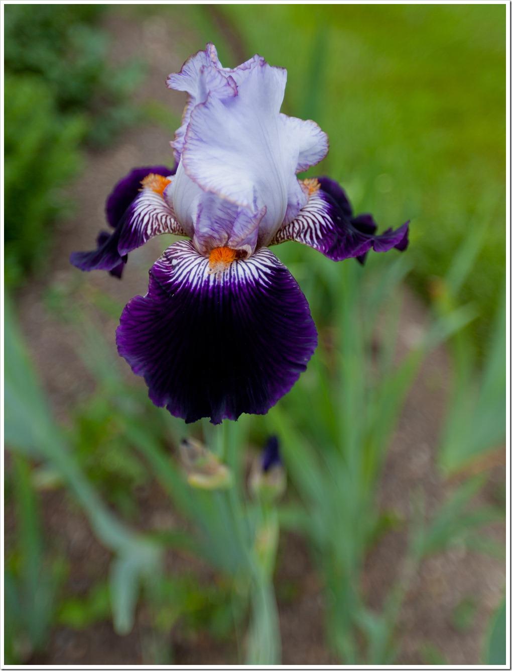 Iris-4228
