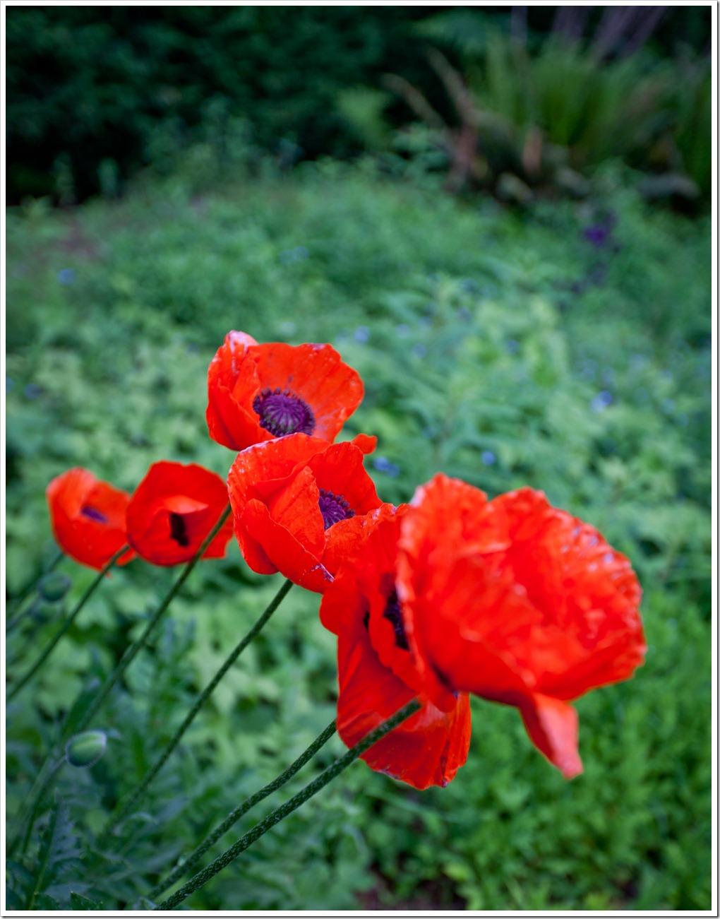 Poppy-4235