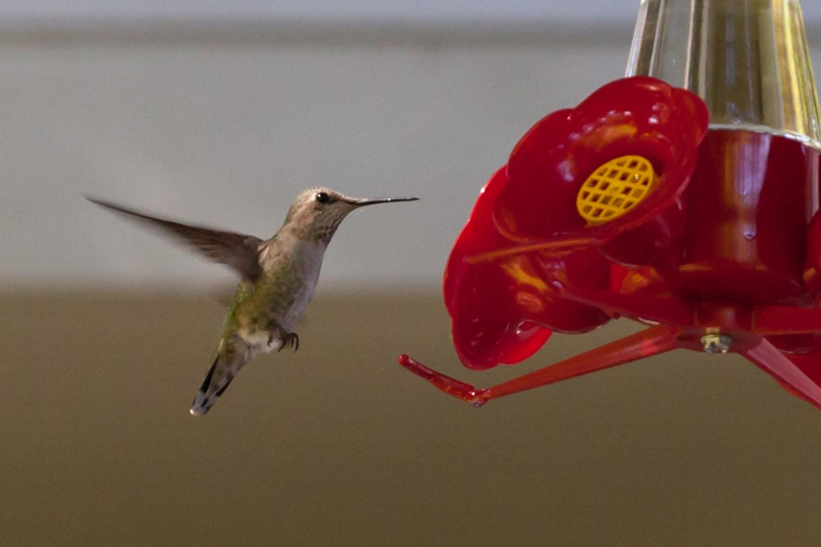 Hummingbird-0532