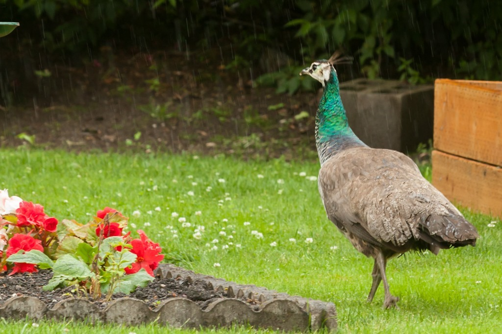 Peacock-1215