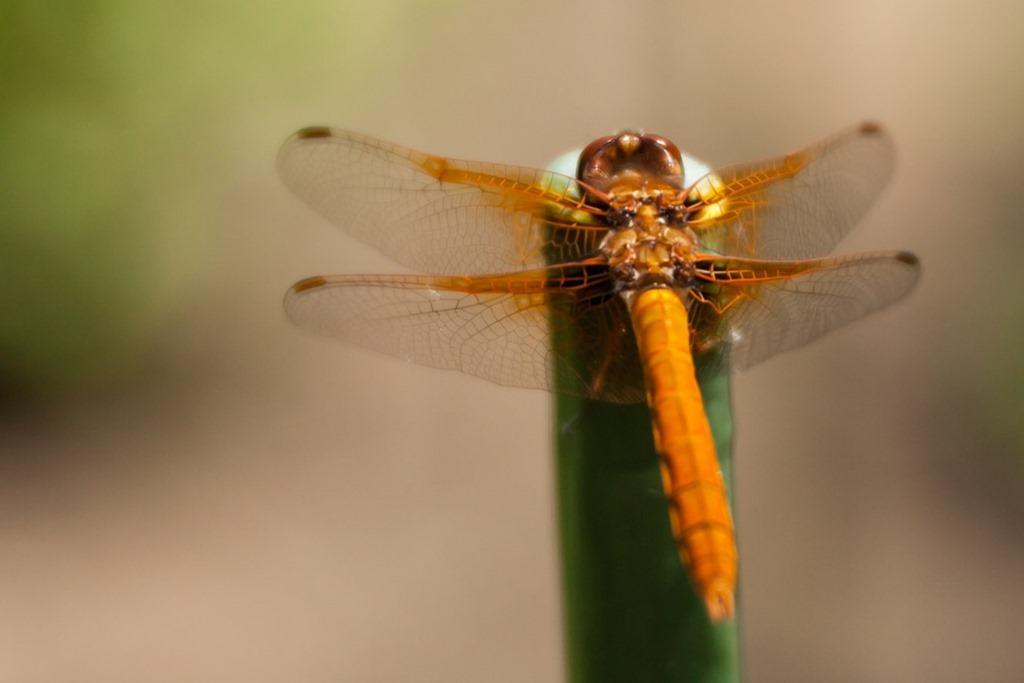 Dragonfly-1481
